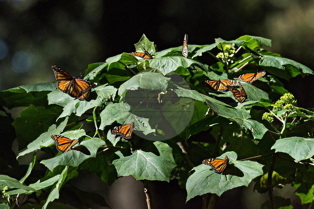 Monarch Butterflies sun on a branch during the annual mass migration in the forests of the El Capulin Monarch Butterfly Biosphere Reserve in Macheros, Mexico. Each year millions of Monarch butterflies mass migrate from the U.S. and Canada to the Oyamel fir forests in central Mexico.