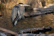 IDAHO. Boise. Morrison-Knudsen Nature Center. Great Blue Heron fishing in pond in winter. February 2006. #bh060212