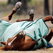 Grace, a 7-year-old Thoroughbred, sports a smile while rolling around in a field at Above Standard Equestrian in Okatie on February 17, 2015.  Immediately after this picture was taken, Grace uttered a neigh and than took off galloping around the field with a white Friesian-cross named Tashi, 9, not pictured.