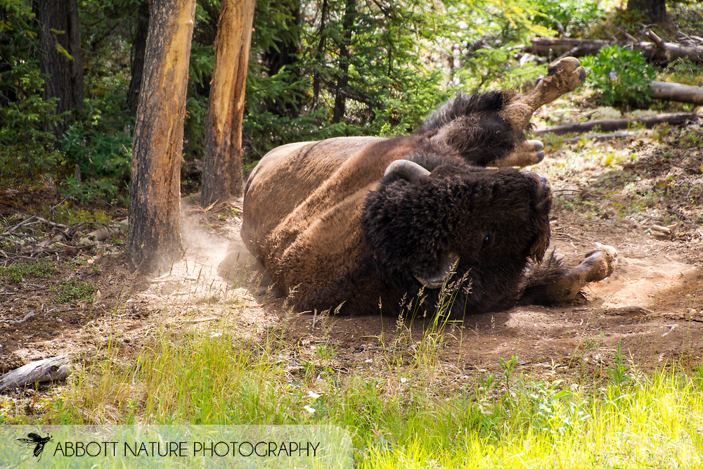Wood Bison, Mountain Bison, Wood Buffalo or Mountain Buffalo (Bison bison athabascae) rolling at wallow<br /> CANADA: British Columbia (Stikine Region)<br /> along Alaska Highway<br /> 18-July-2012<br /> J.C. Abbott &amp; K.K. Abbott