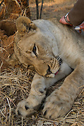 Lioness darted for relocation to Malawi (Panthera leo) & Dr Andre Uys<br /> Pilansberg Game Reserve<br /> North West Province<br /> SOUTH AFRICA