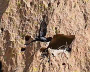 Raven flies out from small cave in cliff in which it is building a nest, © 2018 David A. Ponton