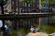 Een Nijlgans zit op zijn nest in de Haagse gracht en houd zijn territroium in de gaten. - A Egyptian Goose sits on its nest in the Hague canal and keeps an eye on its territory.