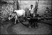 India. Grinding by cattle power in Rajasthan