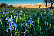 A field of blooming wild Iris near Bishop California.  Sunrise provided the the warm  light on the Eastern Sierras.