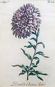 Hand colored vintage botanical engraving of a Double China Aster (Callistephus chinensis).