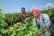 Day labourer working in  grapes production