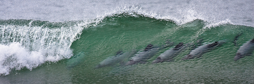 12x36-inch print of Hector dolphins surfing a breaking wave at Curio Bay, New Zealand.