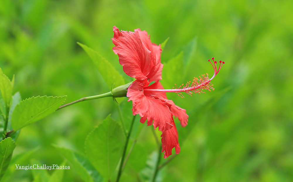 Red Hibiscus by Vangeline Challoy<br />