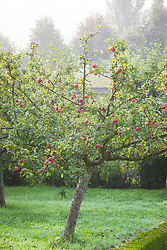 Malus domestica 'Crawley Beauty'. Apple tree on a misty morning in the orchard at West Dean Gardens, West Sussex
