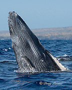 humpback whale, Megaptera novaeangliae, Endangered Species, calf doing a lazy breach, Hawaii Humpback Whale National Marine Sanctuary, Kohala, Kona, Hawaii ( Central Pacific Ocean )