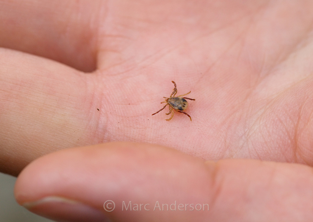 Australian Paralysis Tick (Ixodes holocyclus) on a mans hand, Sydney, Royal National Park, Australia