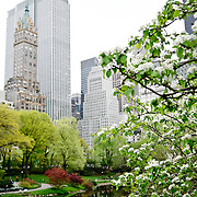 The Pond in New York's Central Park in the spring, with buildings in the background. Shallow depth of field with focus on the flowers and leaves in the foreground right of frame.