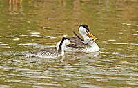 A pair of Western Grebe with chicks and it is feeding time in a northern Utah marsh.