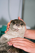 An Otter (Lutra lutra) in a research laboratory being inspected by a scientist. Photographed in israel