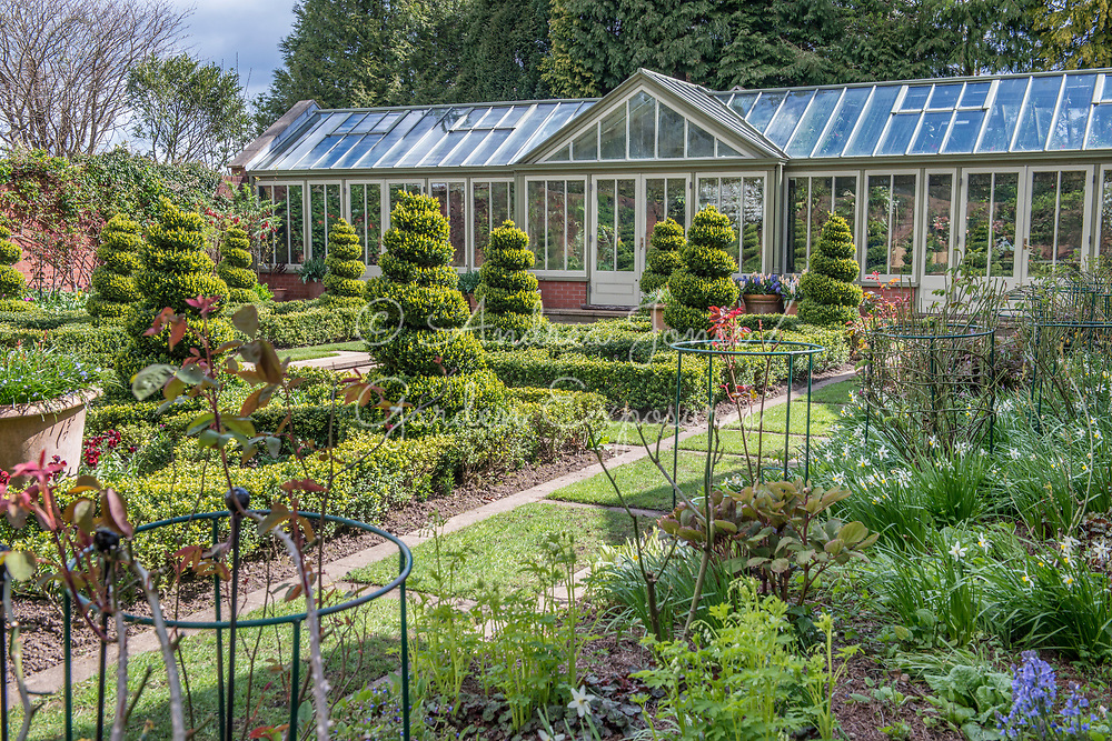 Walled formal garden in early spring with large conservatory, box spiral topiary, box hedge, rose plant supports, mulch, daffodils, snakeshead fritillaries, primroses and bluebells<br /> <br /> <br /> Private garden, Lancaster, Lancashire, England