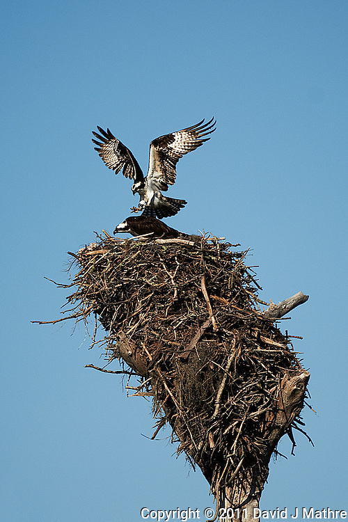 Osprey Pair About to Mate at Fort Desoto Park in St Petersburg, Florida. Image taken with a Nikon D3 and 500 mm f/4 VR lens (ISO 200, 500 mm, f/4, 1/4000 sec).