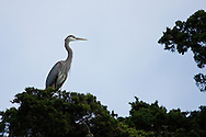 Great Blue Heron perches high atop a tree