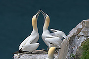 Pair of Northern Gannet - Morus bassanus touching their beaks together