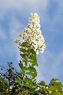 crape myrtle, crepe myrtle, crepeflower (Lagerstroemia indica)<br /> United States: Alabama: Tuscaloosa Co.<br /> Tulip Tree Springs off Echola Rd.; Elrod<br /> 5-Sep-2016<br /> J.C. Abbott #2864
