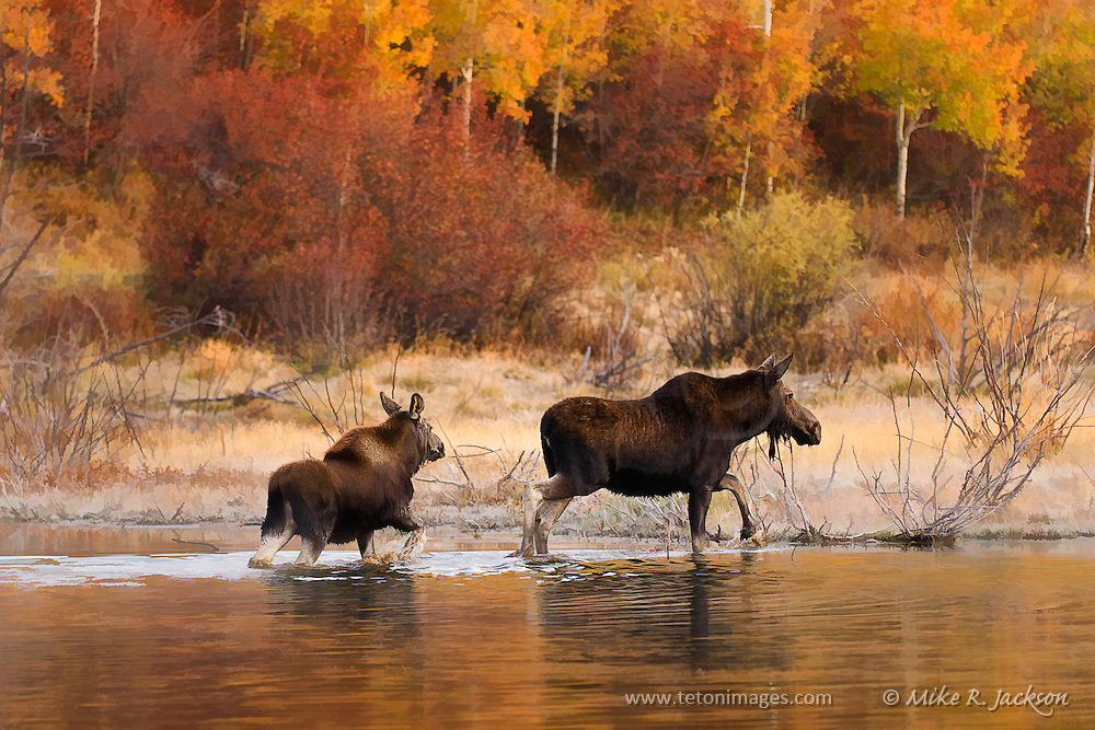 Artistic effects applied to a cow moose and calf in Sawmill Pond in Grand Teton National Park during the fall rut.