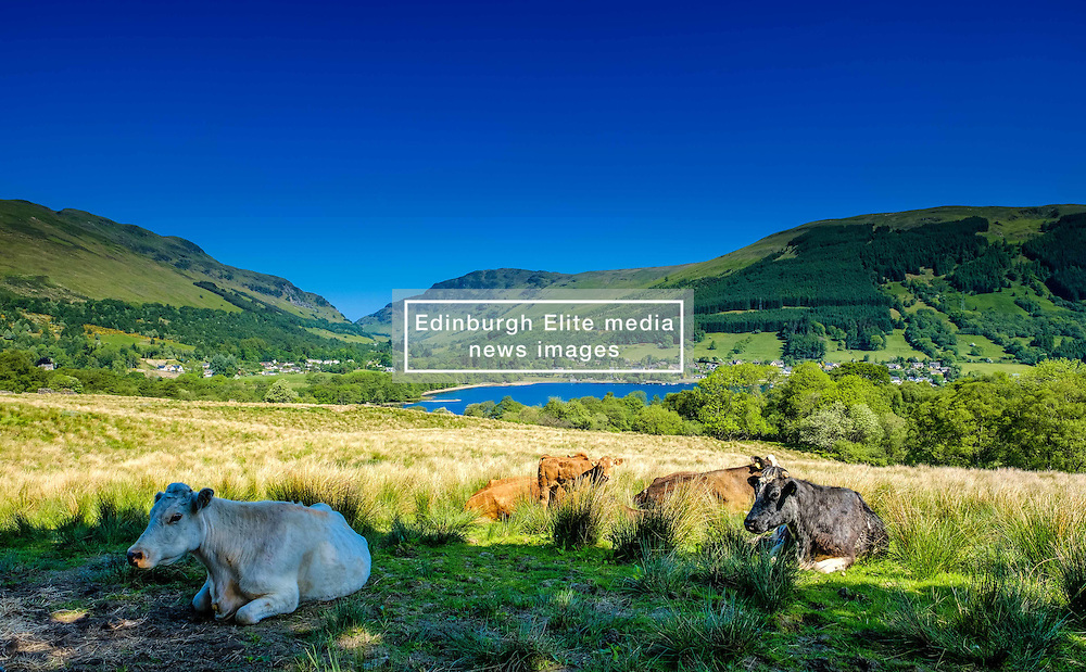 Cattle resting in the shade on a farm overlooking Loch Earn, Perthshire, Scotland<br /> <br /> (c) Andrew Wilson | Edinburgh Elite media