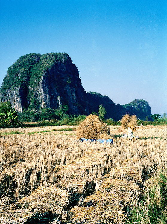 Rice being harvested
