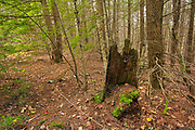 Old tree stump, likely from a harvesting of white pines in the 1850s still evident in a second growth hemlock forest.<br />