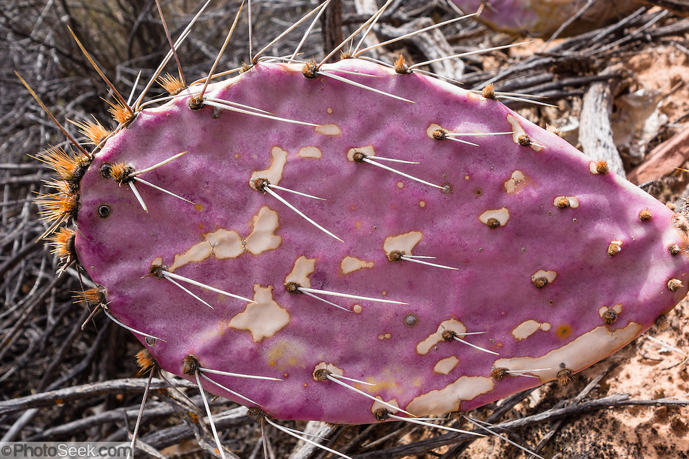 Spines poke from a green and purple-tinged prickly pear cactus (Opuntia genus). Lower Calf Creek Falls trail, Grand Staircase Escalante National Monument, Utah, USA.