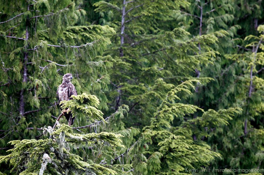 North America, Canada, British Columbia, Vancouver Island. Juvenile Bald Eagle.