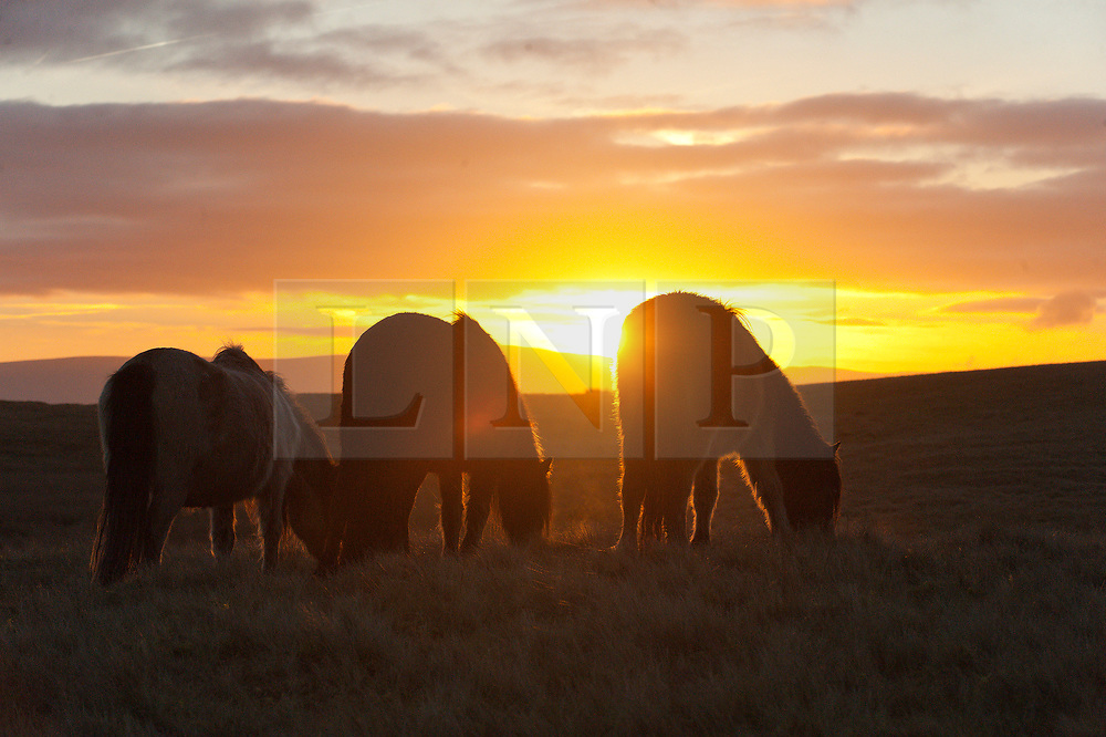 © Licensed to London News Pictures. 09/01/2019. Builth Wells, Powys, Wales, UK. Welsh Mountain Ponies graze at sunrise on the Myndd Epynt moorland, at about 400 metres above sea-level, near Builth Wells in Powys, Wales, UK, where temperatures dropped overnight to freezing. credit: Graham M. Lawrence/LNP