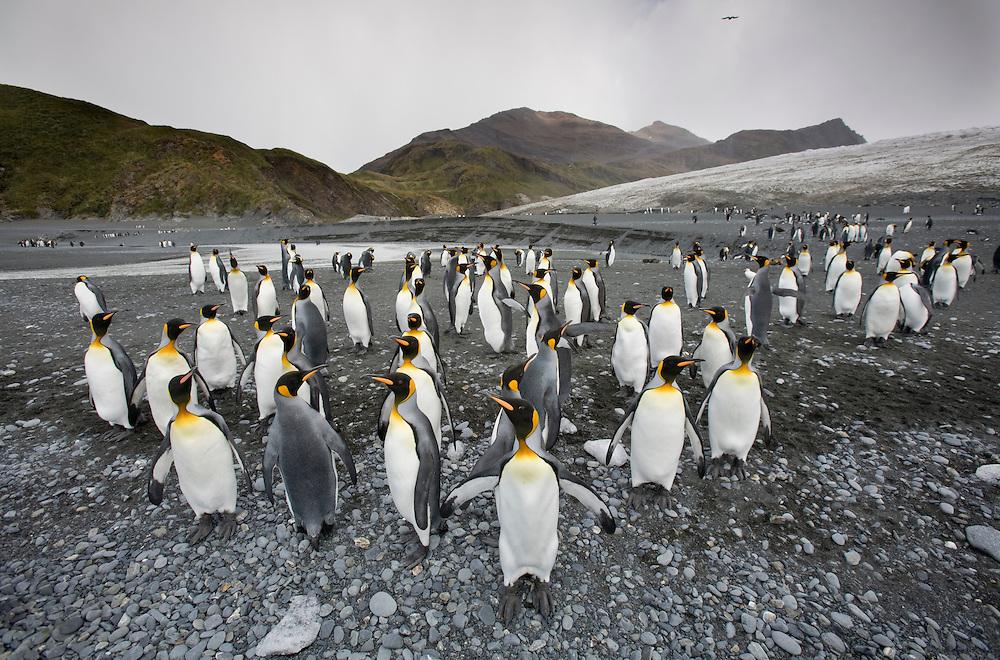 Antarctica, South Georgia Island (UK), King Penguins (Aptenodytes patagonicus) on beach near tidewater glacier along Fortuna Bay