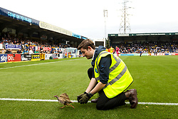 A bird gets away from a steward as play is stopped to remove it - Mandatory by-line: Robbie Stephenson/JMP - 18/08/2018 - FOOTBALL - Adam's Park - High Wycombe, England - Wycombe Wanderers v Bristol Rovers - Sky Bet League One