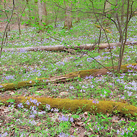 Forest clearing explodes with wildflowers! Great Smoky Mountain National Park.