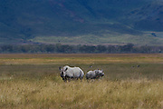 Black rhino and calf, Ngorongoro Conservation Area, Tanzania. Black rhino, one of only about 60 in the 10,000 square mile Serengeti ecosystem; critically endangered; poaching is rampant. Once numbered in the thousands here.
