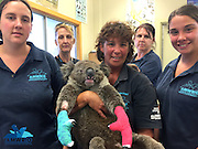 Touching pictures of Jeremy the koala recovering after burning all four of his paws trying to escape the devastating SA bushfires <br /> <br /> A young koala is in recovery after suffering second-degree partial thickness burns on all four of his paws from the devastating bushfires in South Australia.<br /> Heartbreaking images of Jeremy the koala have gone viral since he was treated at Australian Marine, Wildlife Research and Rescue Organisation (AMWRRO) yesterday.<br /> It was a timely reminder that the bushfires have also destroyed the homes of our native wildlife.<br /> While carers say it's too early to predict whether Jeremy will make a full recovery, he is currently 'doing very well and is in great spirits'.<br /> Aaron Machado from AMWRRO said, Jeremy, aged about two-years-old, is still in a critical condition.<br /> 'He's in a lot of pain and severely dehydrated but he's stabilised and doing okay for now,' he said.<br /> <br /> 'So he's being closely monitored by carers at this stage.<br /> 'We're unsure whether we can expect a full recovery from him. But he certainly has the potential.'<br /> <br /> This comes as Wednesday saw the biggest firefighting effort since the fire began on Friday afternoon, with a total of 31 aircraft and 110 trucks on the ground. <br /> <br /> There were 600 firefighters worked to battle 40 degree temperatures and 30 kilometre per hour winds on Wednesday, in an effort to take control of the raging bushfires.<br /> Country Fire Service chief officer Greg Nettleton confirmed that 95 per cent of the fire has been contained by Wednesday afternoon, with only two 'hotspot' areas of concern remaining.  <br /> Over 12,500 hectares of land has been destroyed or damaged in the blaze so far, including 32 homes, 125 other buildings and four businesses.<br /> As of Wednesday morning, over $13 million worth of insurance claims had been lodged by vicitms. <br /> <br /> Photo Shows: While carers say it's too early to predict whether Jeremy will make a full recovery, he is currently 'doing very well and is in great spirits<br /> ©Exclusivepix Media