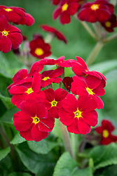 Polyanthus 'Stella Red' syn. 'Stella Regal Red'