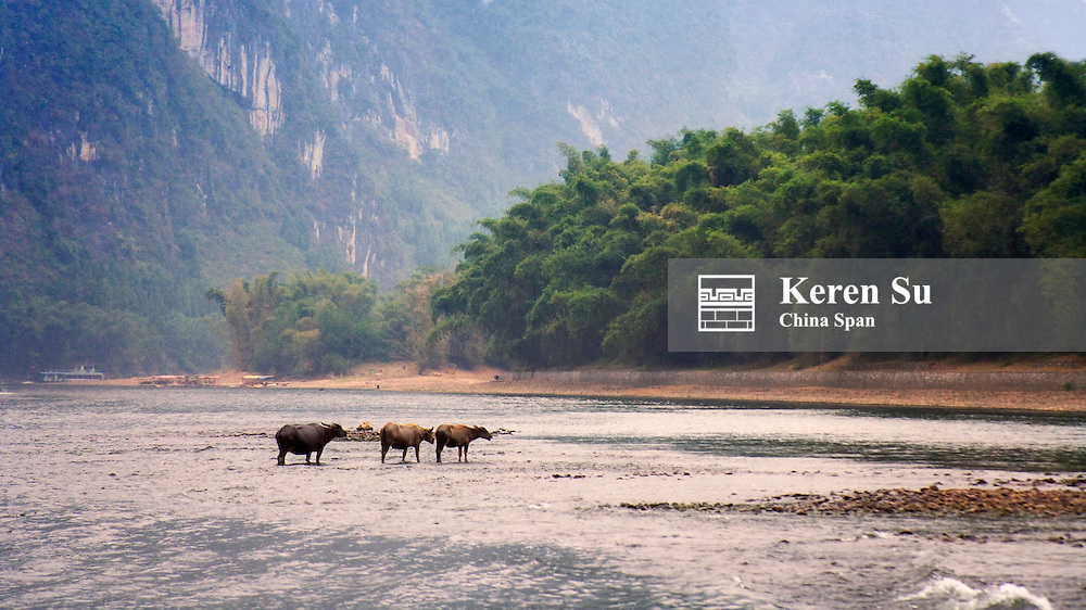 Water buffaloes and karst hills along the Li River, Yangshuo, Guangxi, China