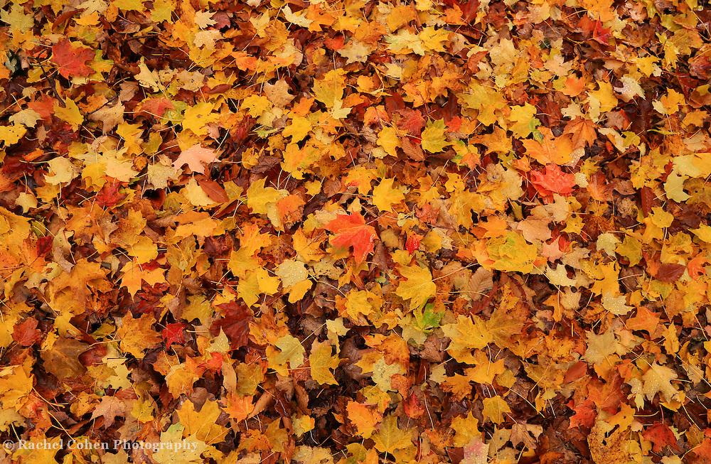 &quot;Rain Drops on Autumn&quot;<br /> <br /> A carpet of fallen leaves in the rain!!<br /> <br /> Fall Foliage by Rachel Cohen