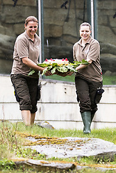 April 13, 2018 - Berlin, Germany - Workers of the zoo Berlin carry a birthday cake for world's oldest gorilla Fatou which turns 61 at the zoo in Berlin, Germany on April 13, 2018. (Credit Image: © Emmanuele Contini/NurPhoto via ZUMA Press)