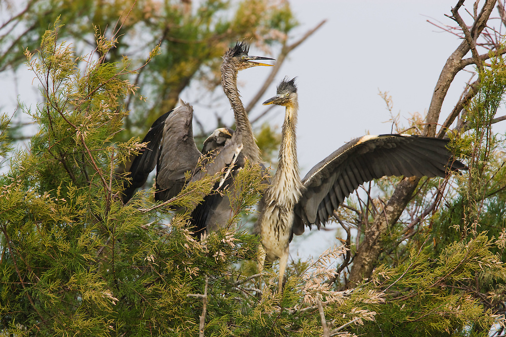 Grey heron chicks (Ardea cinerea) on nest, Pont du Gau, Camargue, France