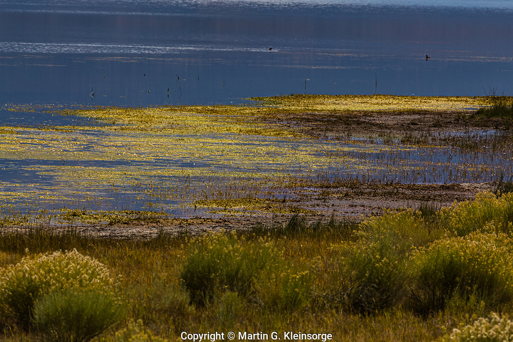 Algae growing in San Luis Lake during the autumn season.  San Luis Lakes State Park, Colorado.