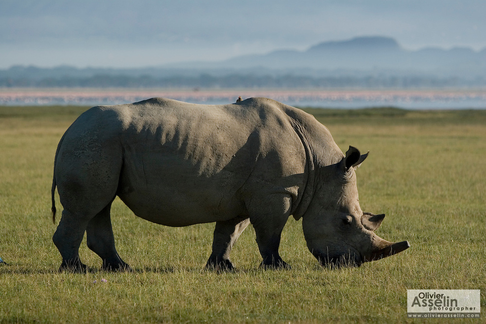Black rhino, Lake Nakuru National Park, Kenya