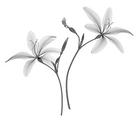 X-ray image of a candy lily in bloom (Iris norrisii, black on white) by Jim Wehtje, specialist in x-ray art and design images.