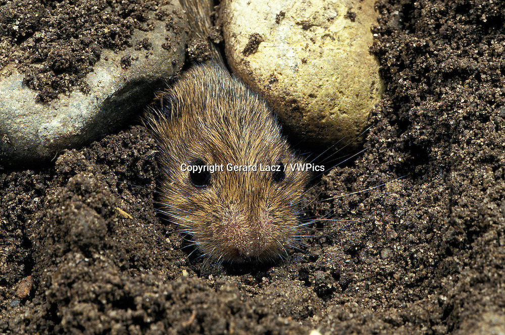 Common Vole, microtus arvalis, Head of Adult emerging from Ground