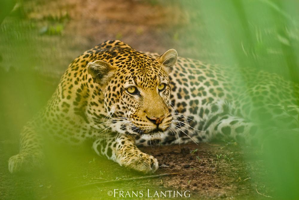 Leopard, Panthera pardus, Niokolo-Koba National Park, Senegal
