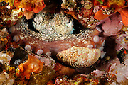 Octopus (Octopus vulgaris) [size of single organism: 25 cm] (Octopoda) | Gewöhnlicher Krake (Octopus vulgaris)