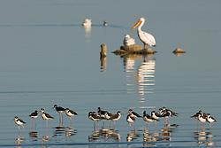 White pelicans (Pelecanus erythrorhynchos) and black necked stilts (Himantopus mexicanus) on Salton Sea, California