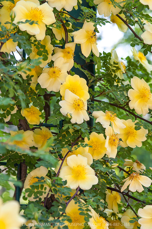 The small, single, soft-yellow flowers of the Yellow Incense Rose (Rosa primula), a medium-sized shrub rose forming thin arching branches.