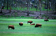 Bison (Bison bison) herd grazing in meadow, Yellowstone National Park, Wyoming ..Subject photograph(s) are copyright Edward McCain. All rights are reserved except those specifically granted by Edward McCain in writing prior to publication...McCain Photography.211 S 4th Avenue.Tucson, AZ 85701-2103.(520) 623-1998.mobile: (520) 990-0999.fax: (520) 623-1190.http://www.mccainphoto.com.edward@mccainphoto.com.
